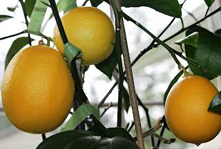 My indoor-grown meyer lemons on the vine